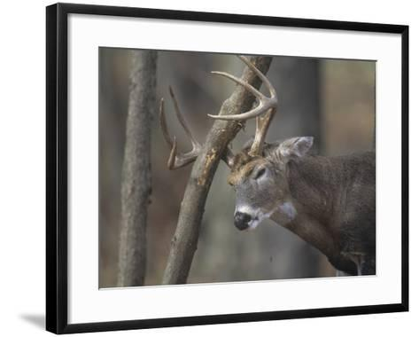White-Tailed Deer Buck Rubbing its Antlers on a Tree (Odocoileus Virginianus), North America-Tom Edwards-Framed Art Print