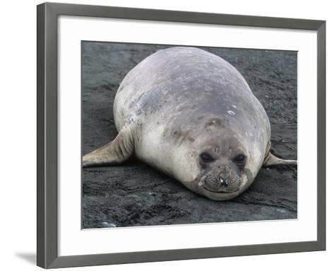 Southern Elephant Seal, Mirounga Leonina, South Georgia Islands, Antarctic Region-Gerald & Buff Corsi-Framed Art Print