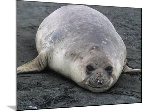 Southern Elephant Seal, Mirounga Leonina, South Georgia Islands, Antarctic Region-Gerald & Buff Corsi-Mounted Photographic Print