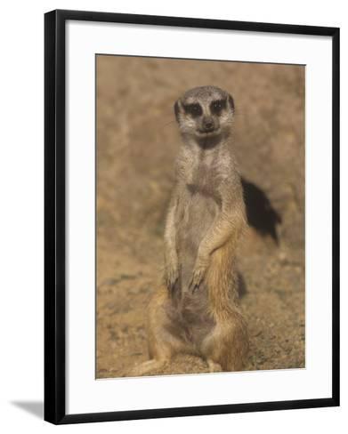 A Meerkat Lookout Near its Den Opening, Suricata Suricatta, Southern Africa-Adam Jones-Framed Art Print