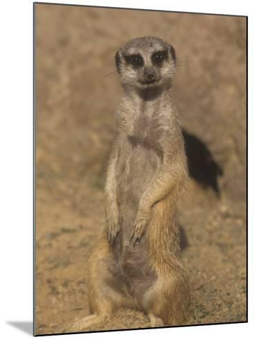 A Meerkat Lookout Near its Den Opening, Suricata Suricatta, Southern Africa-Adam Jones-Mounted Photographic Print