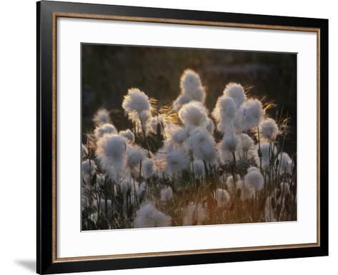 Arctic Cotton Grass (Eriophorum), a Sedge on the Tundra, Canada-Tim Hauf-Framed Art Print