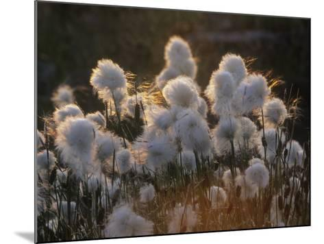 Arctic Cotton Grass (Eriophorum), a Sedge on the Tundra, Canada-Tim Hauf-Mounted Photographic Print