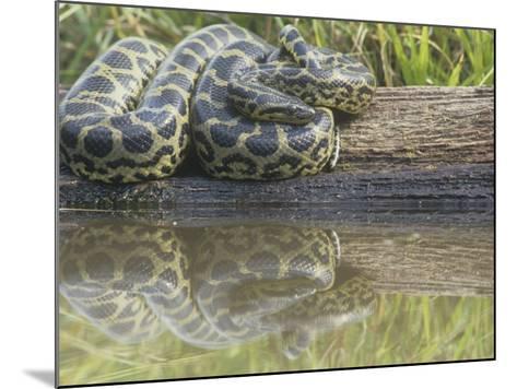 Yellow Anaconda (Eunectes Notaeus), Northern Argentina-Mary Ann McDonald-Mounted Photographic Print