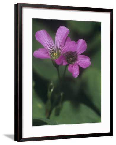 Violet Wood Sorrel Flowers (Oxalis Violacea), Eastern North America-Leroy Simon-Framed Art Print