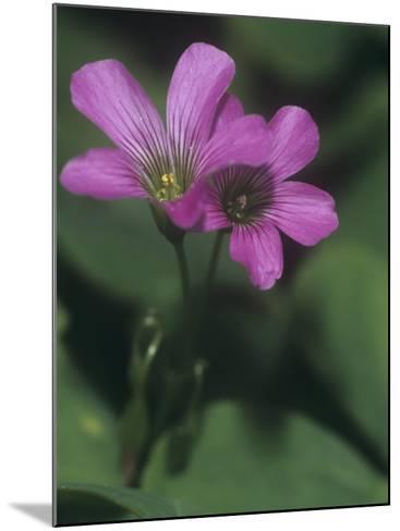 Violet Wood Sorrel Flowers (Oxalis Violacea), Eastern North America-Leroy Simon-Mounted Photographic Print