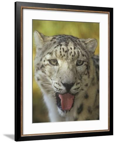 A Snow Leopard Face, Panthera Uncia, Asia-Adam Jones-Framed Art Print