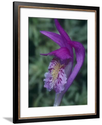 Dragon's Mouth Orchid Flower, Arethusa Bulbosa, Eastern North America-John & Barbara Gerlach-Framed Art Print