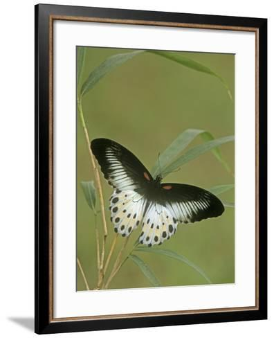 Swallowtail Butterfly (Papilio Polymnestor), India-Leroy Simon-Framed Art Print