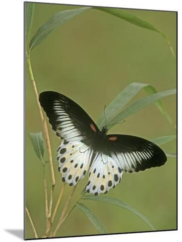 Swallowtail Butterfly (Papilio Polymnestor), India-Leroy Simon-Mounted Photographic Print