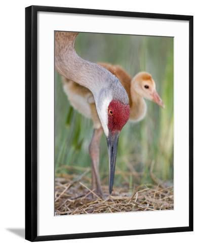Sandhill Crane Adult and Chick at the Nest, Grus Canadensis, Florida, USA-Arthur Morris-Framed Art Print