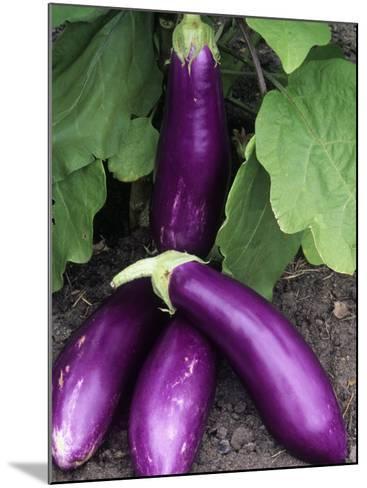 Eggplant 'Neon'-Wally Eberhart-Mounted Photographic Print