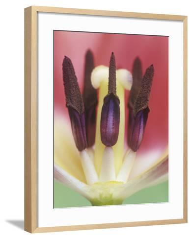 Tulip Flower Petals Removed to Show the Stamens, Pollen Grains, and the Central Pistil, Tulipa-Adam Jones-Framed Art Print