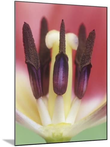 Tulip Flower Petals Removed to Show the Stamens, Pollen Grains, and the Central Pistil, Tulipa-Adam Jones-Mounted Photographic Print