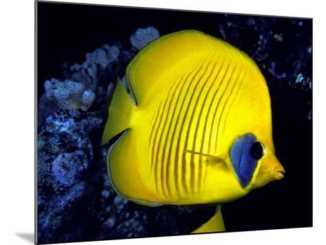 Blue-Cheeked Butterflyfish (Chaetodon Semilarvatus), Red Sea-David Fleetham-Mounted Photographic Print