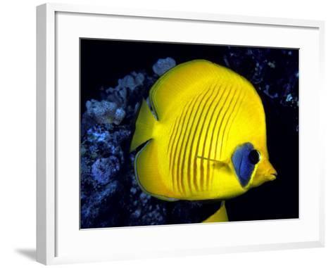 Blue-Cheeked Butterflyfish (Chaetodon Semilarvatus), Red Sea-David Fleetham-Framed Art Print