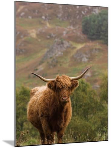 Scottish Highland Cow-Wayne Hutchinson-Mounted Photographic Print