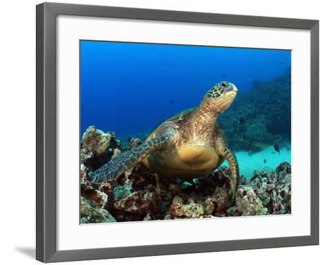 Green Sea Turtle, Chelonia Mydas, Resting on a Coral Reef Off Maui, Hawaii, USA-David Fleetham-Framed Art Print