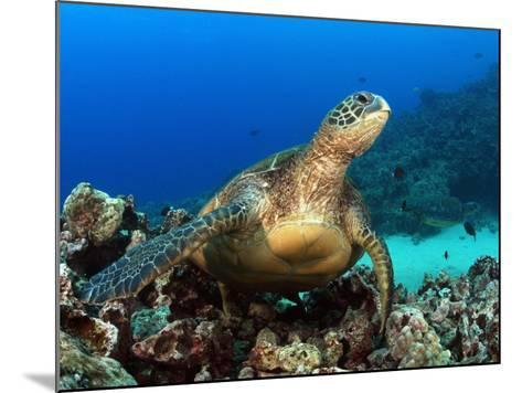 Green Sea Turtle, Chelonia Mydas, Resting on a Coral Reef Off Maui, Hawaii, USA-David Fleetham-Mounted Photographic Print