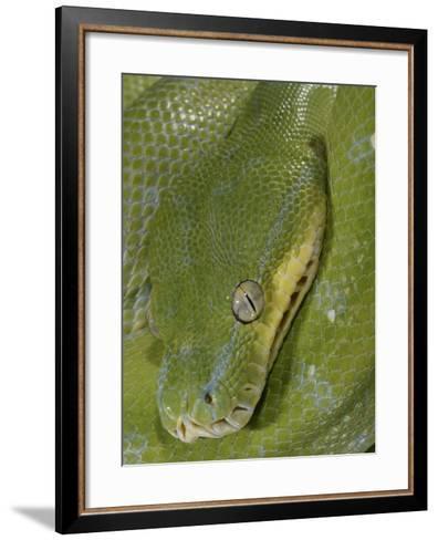 Green Tree Python, , Chondropython Viridis, Adult Specimen, Australia, New Guinea-Jim Merli-Framed Art Print