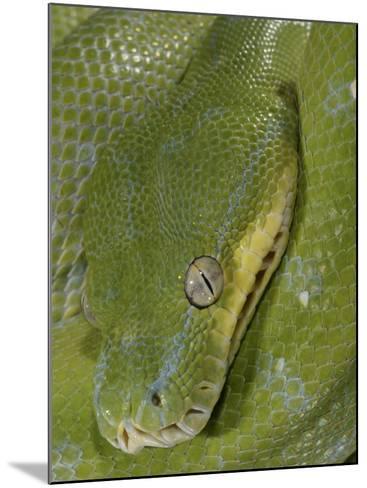 Green Tree Python, , Chondropython Viridis, Adult Specimen, Australia, New Guinea-Jim Merli-Mounted Photographic Print