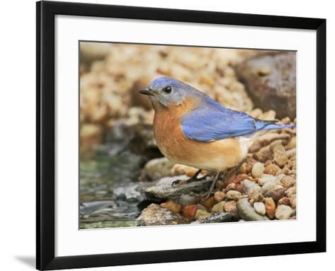 Eastern Bluebird, Sialia Sialis, Eastern USA-John Cornell-Framed Art Print