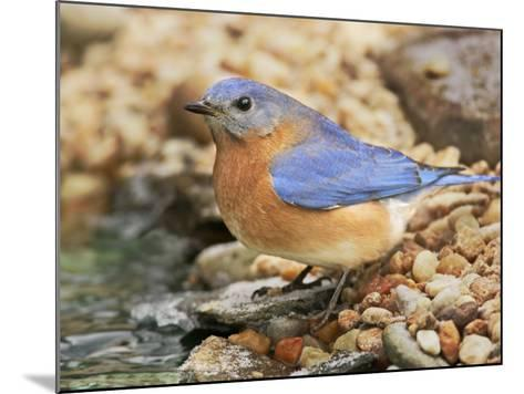 Eastern Bluebird, Sialia Sialis, Eastern USA-John Cornell-Mounted Photographic Print