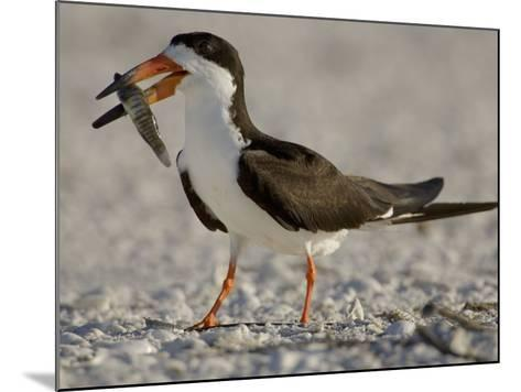 Black Skimmer, Rynchops Niger, with Fish Prey in its Bill, Southern USA-John Cornell-Mounted Photographic Print