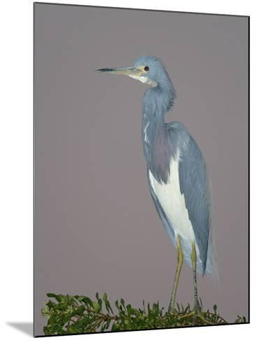 Tricolored Heron, Egretta Tricolor, Venice Rookery, Florida, USA-Arthur Morris-Mounted Photographic Print