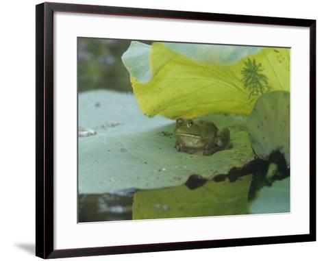 American Bullfrog (Rana Catesbeiana) on a Water Lily Pad, North America-Adam Jones-Framed Art Print