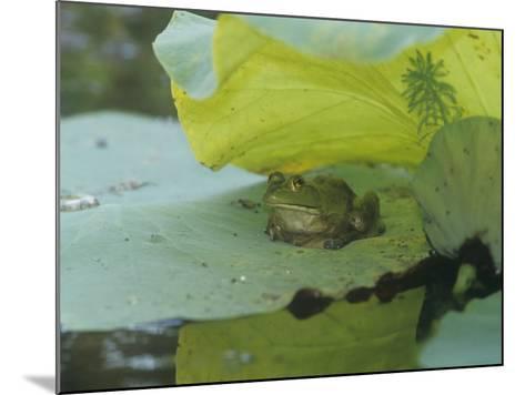 American Bullfrog (Rana Catesbeiana) on a Water Lily Pad, North America-Adam Jones-Mounted Photographic Print