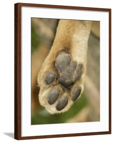 Close-Up of an African Lion's Paw, Panthera Leo, East Africa-Arthur Morris-Framed Art Print