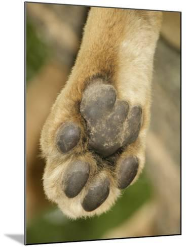 Close-Up of an African Lion's Paw, Panthera Leo, East Africa-Arthur Morris-Mounted Photographic Print