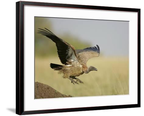 Immature Ruppell's Griffon Vulture Landing, Gyps Rueppellii, Maasai Mara, Kenya, Africa-Arthur Morris-Framed Art Print