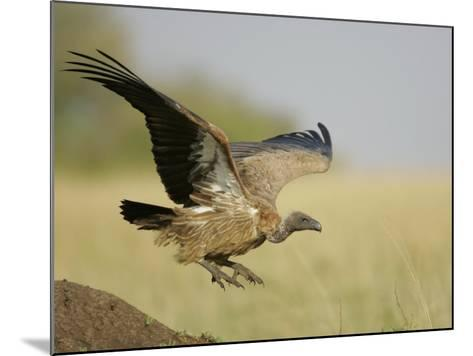 Immature Ruppell's Griffon Vulture Landing, Gyps Rueppellii, Maasai Mara, Kenya, Africa-Arthur Morris-Mounted Photographic Print