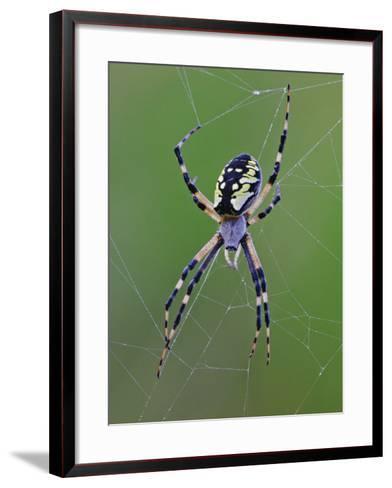 Black and Yellow Argiope, Argiope Aurantia in Web, Wisconsin-Adam Jones-Framed Art Print