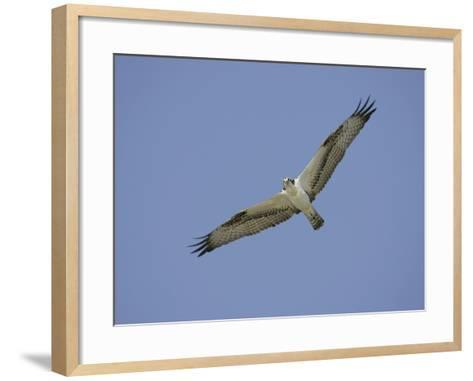 Osprey Flying, Pandion Haliaetus, North America-Arthur Morris-Framed Art Print