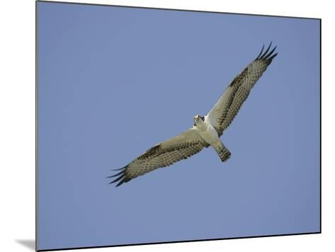 Osprey Flying, Pandion Haliaetus, North America-Arthur Morris-Mounted Photographic Print