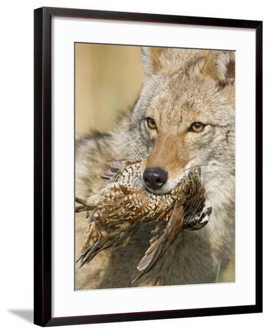 Coyote (Canis Latrans) with Bobwhite Quail Prey in its Mouth, North America-Steve Maslowski-Framed Art Print