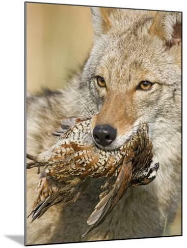Coyote (Canis Latrans) with Bobwhite Quail Prey in its Mouth, North America-Steve Maslowski-Mounted Photographic Print