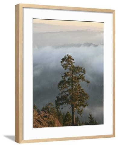 Western Red Cedar on a Ridge in the Western Oregon Coast Range, with Fog in the Valleys Below, USA-Marli Miller-Framed Art Print