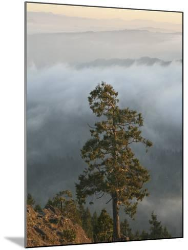 Western Red Cedar on a Ridge in the Western Oregon Coast Range, with Fog in the Valleys Below, USA-Marli Miller-Mounted Photographic Print