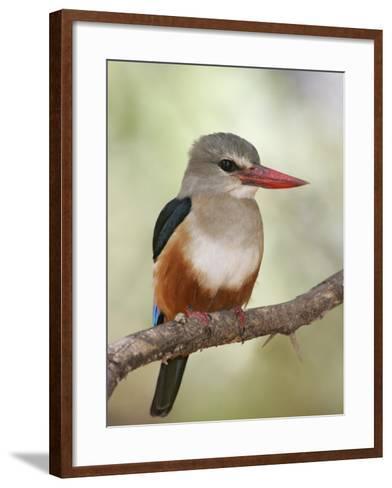 Gray-Headed Kingfisher, Halcyon Leucocephala, Kenya, Africa-Arthur Morris-Framed Art Print