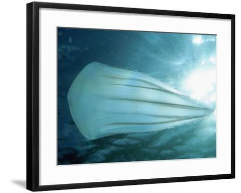 Beroid Comb Jelly (Beroe Forskalii) Feeds on Other Comb Jellies, Native to the Pacific Ocean-David Wrobel-Framed Art Print