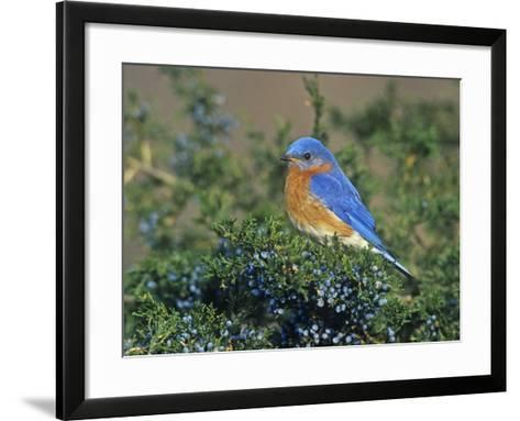 Male Eastern Bluebird (Sialia Sialis) on Juniper, North America. Missouri State Bird-Steve Maslowski-Framed Art Print