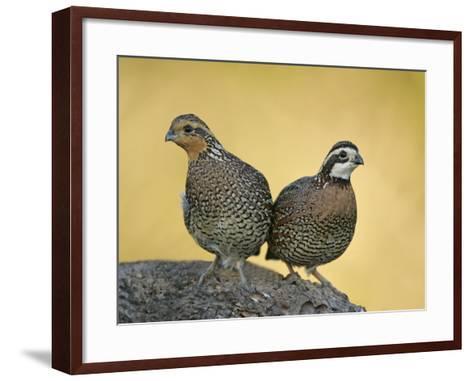 Northern Bobwhite Pair, Colinus Virginianus, North America-Arthur Morris-Framed Art Print