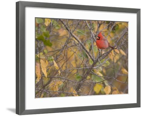 Northern Cardinal (Cardinalis Cardinalis) Male-Jack Michanowski-Framed Art Print