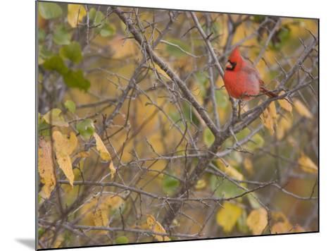 Northern Cardinal (Cardinalis Cardinalis) Male-Jack Michanowski-Mounted Photographic Print