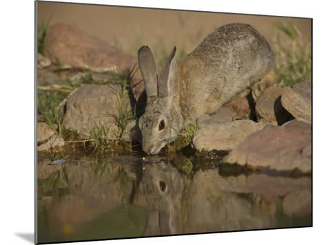 Desert Cottontail-Jack Michanowski-Mounted Photographic Print