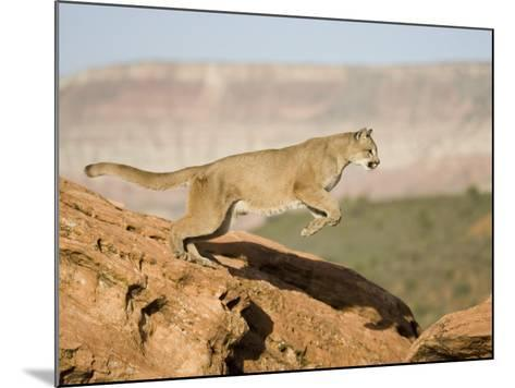 A Puma, Cougar or Mountain Lion, Running and Jumping, Felis Concolor, North America-Joe McDonald-Mounted Photographic Print